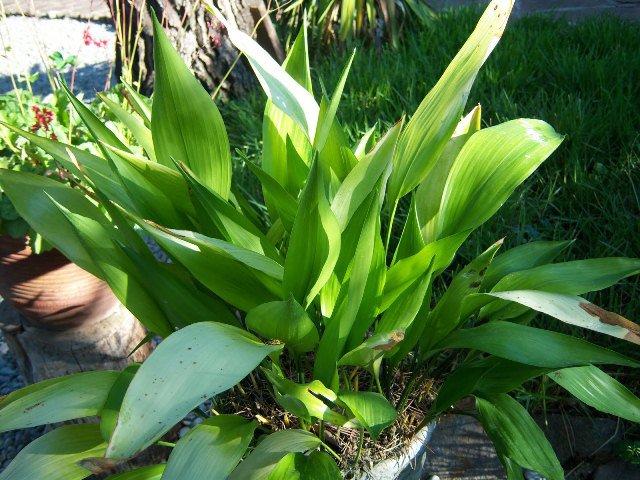 Plantas que Podem ser Usadas em Decorações: Aspidistra
