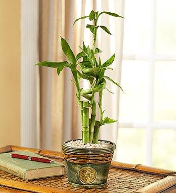 Plantas que Podem ser Usadas em Decorações: Bambu-fortuna