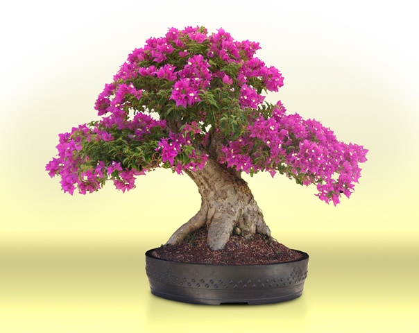 O cultivo do bonsai uma boa terapia contra o estresse di rio - Cultivo de bonsai ...