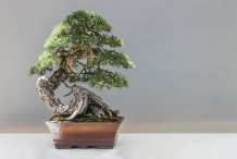 cultivo-do-bonsai-capa