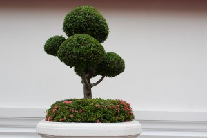 cultivo-do-bonsai-mini-arvore