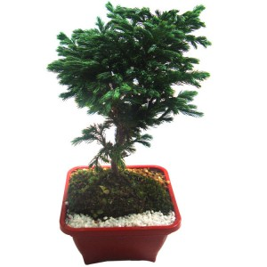 cultivo-do-bonsai-passaro-azul