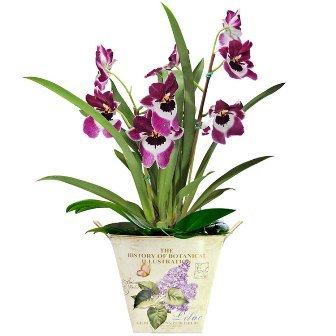 Orquídea Miltonia pra Você