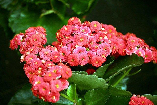 Plantas que Podem ser Usadas em Decorações: Kalanchoe