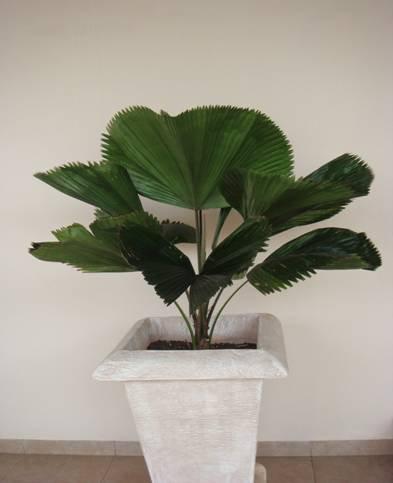 Plantas que Podem ser Usadas em Decorações: Licuala