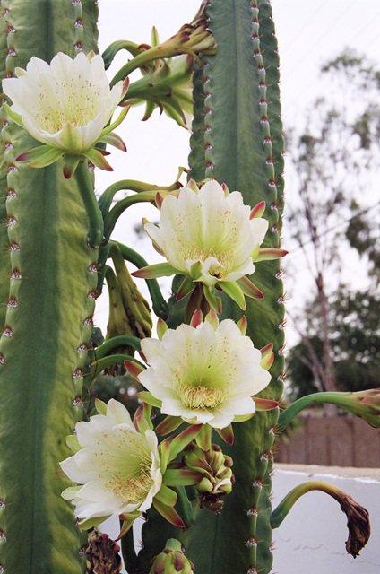 Plantas que Podem ser Usadas em Decorações: Mandacaru