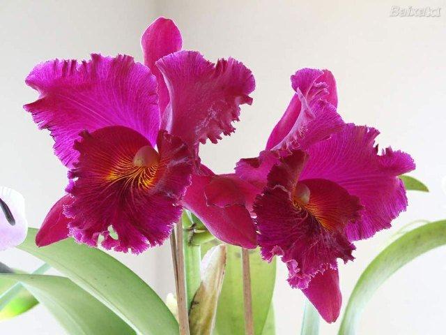 Plantas que Podem ser Usadas em Decorações: Orquídea