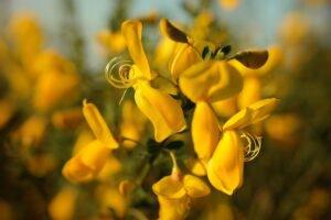 flor de carqueja