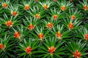 Cultivar Bromélias: como regar