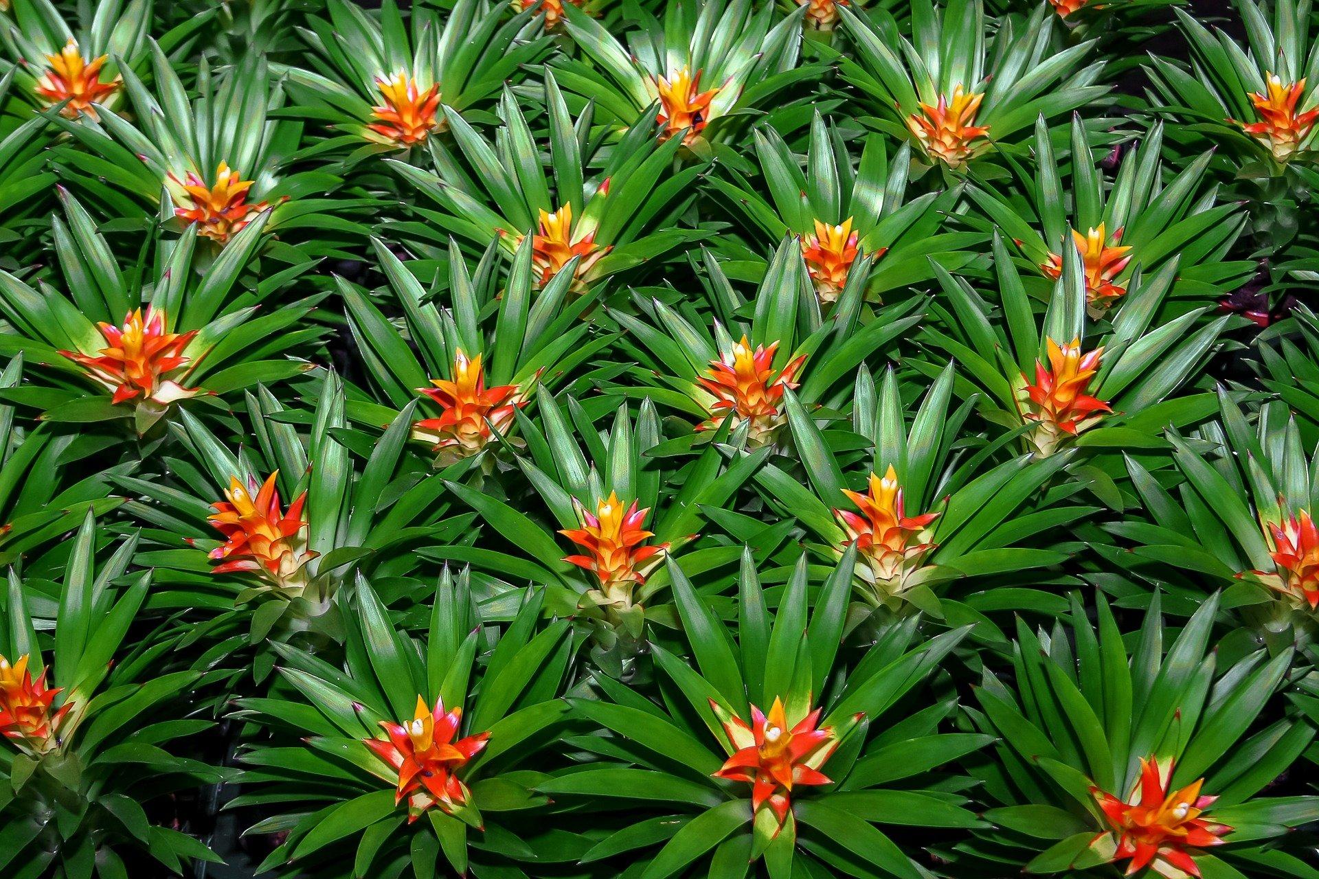 Cultivar brom lias como cultivar lindas brom lias blog for Plantas tropicales de exterior