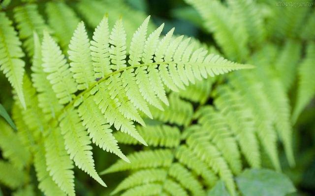 Plantas que Podem ser Usadas em Decorações: Samambaia