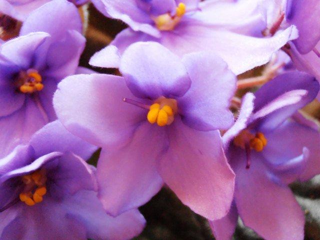Plantas que Podem ser Usadas em Decorações: Violeta