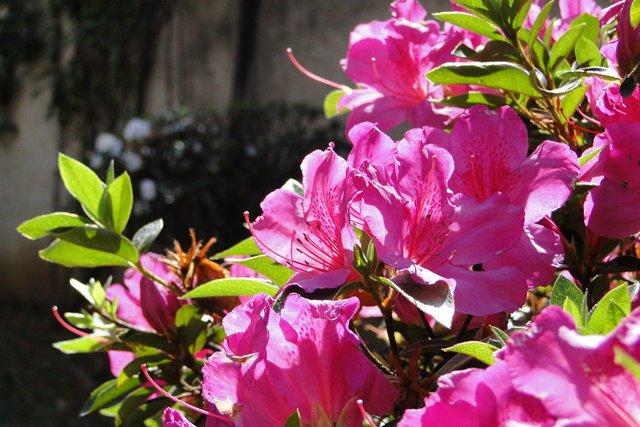 Azaleia é um flor que gosta de som