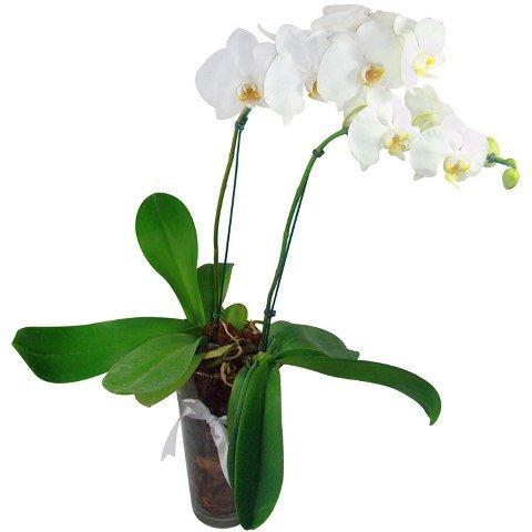 Dupla de Orquídeas Phalaenopsis