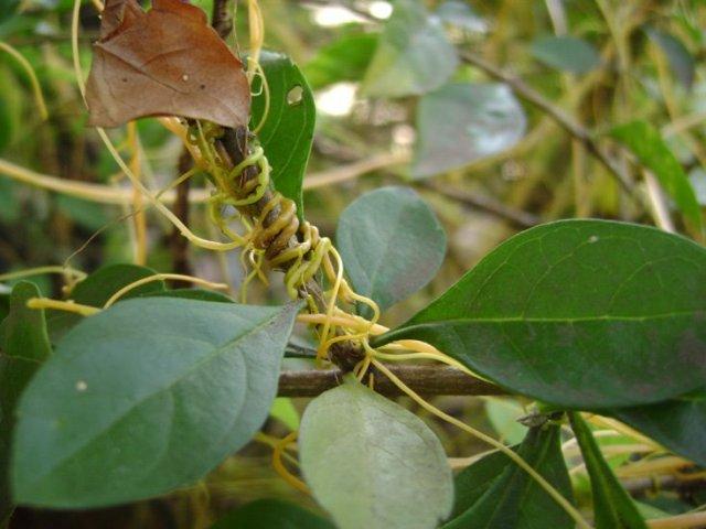 Cipó-Chumbo – Planta parasita