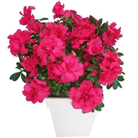 Vaso de Azaleias Pink