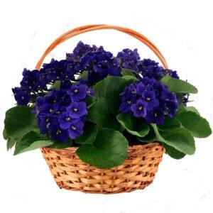 violeta-planta-ambiente-fechado