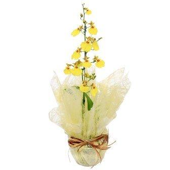 Mini Orquídea Chuva de Ouro