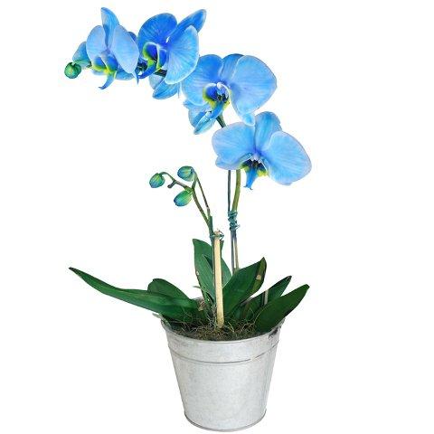 Orquideas Plantadas no Vaso