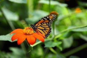 borboleta-jardim