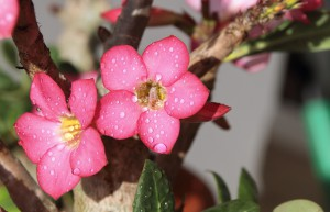 significado-rosa-do-deserto-flor