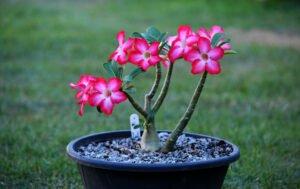 Significado da rosa do deserto está ligado à lendas