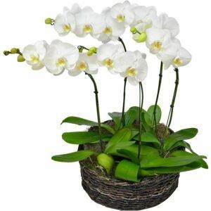 sofisticadas-orquideas-phalaenopsis - Festa de noivado