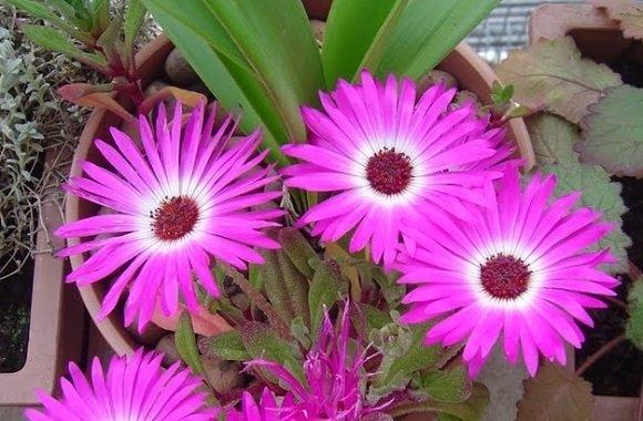 Cacto-Margarida (Lampranthus productus)