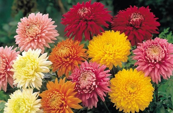 Crisântemos (Chrysanthemum)