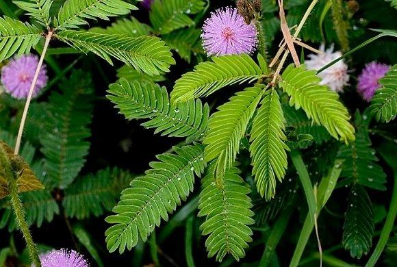 Dormideira (Mimosa Pudic)