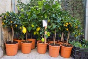 árvores frutíferas no vaso