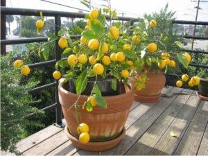 cultivar miniárvores frutíferas