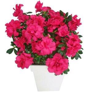 flores-de-tempo-seco-azaleia
