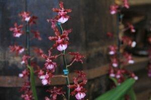 cultivo-orquidea-chocolate