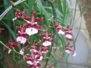 deocoracao-orquidea-chocolate