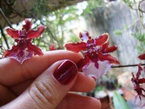 orquidea-chocolate