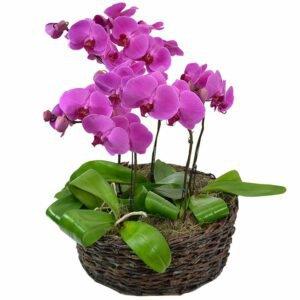 orquideas-pink