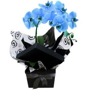 glamorosas-orquideas-azuis