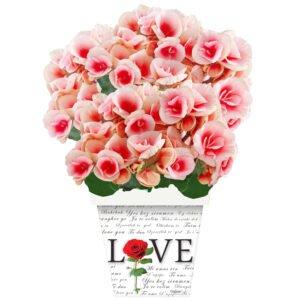 begonia-rosa-flor-do-outono