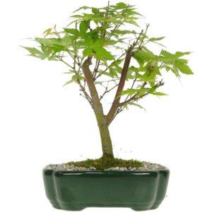 Bonsai Acer Palmatum De 7 Anos