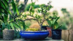 presentear com bonsai