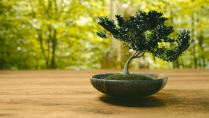 significado-de-presentear-com-bonsai