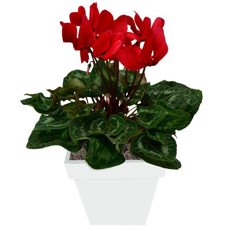 Ciclame-Vermelho