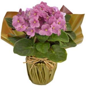violetas-rosas