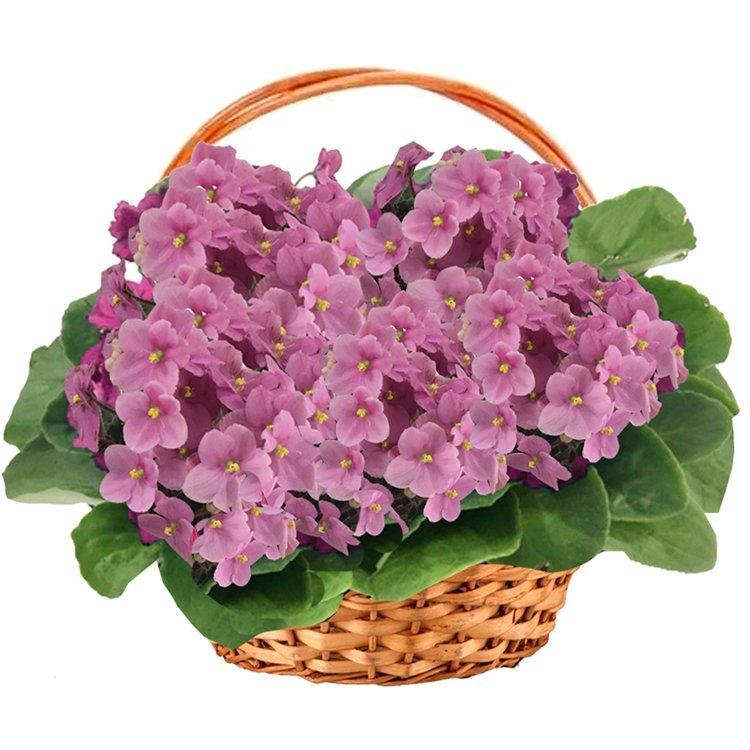 Cesta-Premium-de-Violetas-Rosa