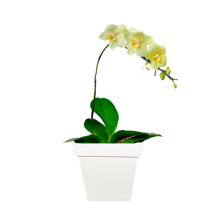Deslumbrante-Phalaenopsis-Amarela