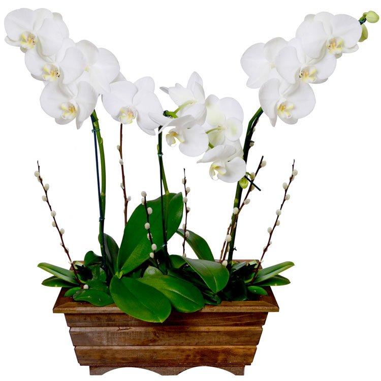 Jardim-de-Phalaenopsis