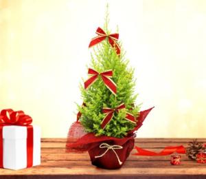 Pinheirinho - Árvore de Natal Natural