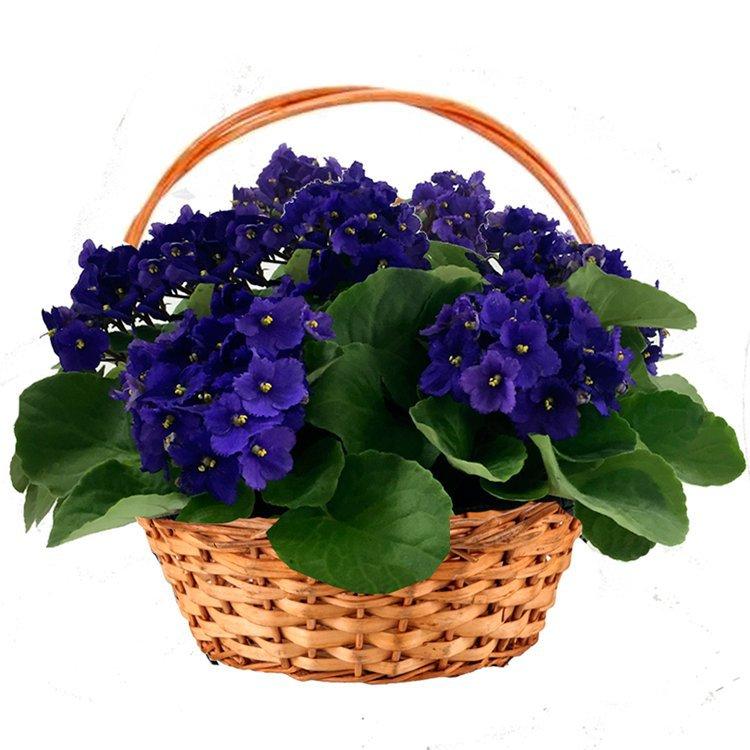 Cesta Premium de Violetas Roxas - cultivar violetas