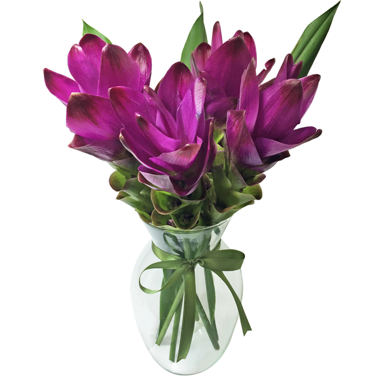 Curcumas Purple no Vaso